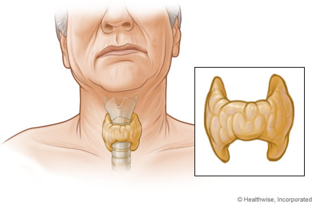Thyroid gland and its location in the body