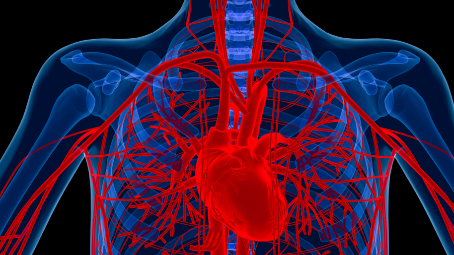 Illustration of inside of upper body with heart, aorta and other arteries, and veins shown in red