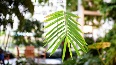 Frankel CVC Atrium leaf closeup