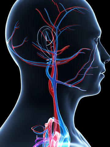 Illustration with black background of veins and arteries in male head and neck